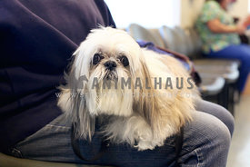 Shihtzu-Mixed-Dog-Waiting-For-The-Vet-at-the-Hospital-Waiting-Room