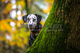 Dog looking behind a Tree