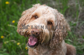Goldendoodle Dog Head Tilt