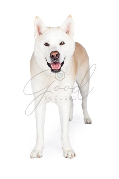 Akita Dog Standing Against White Background