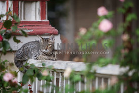 tabby cat on porch railing