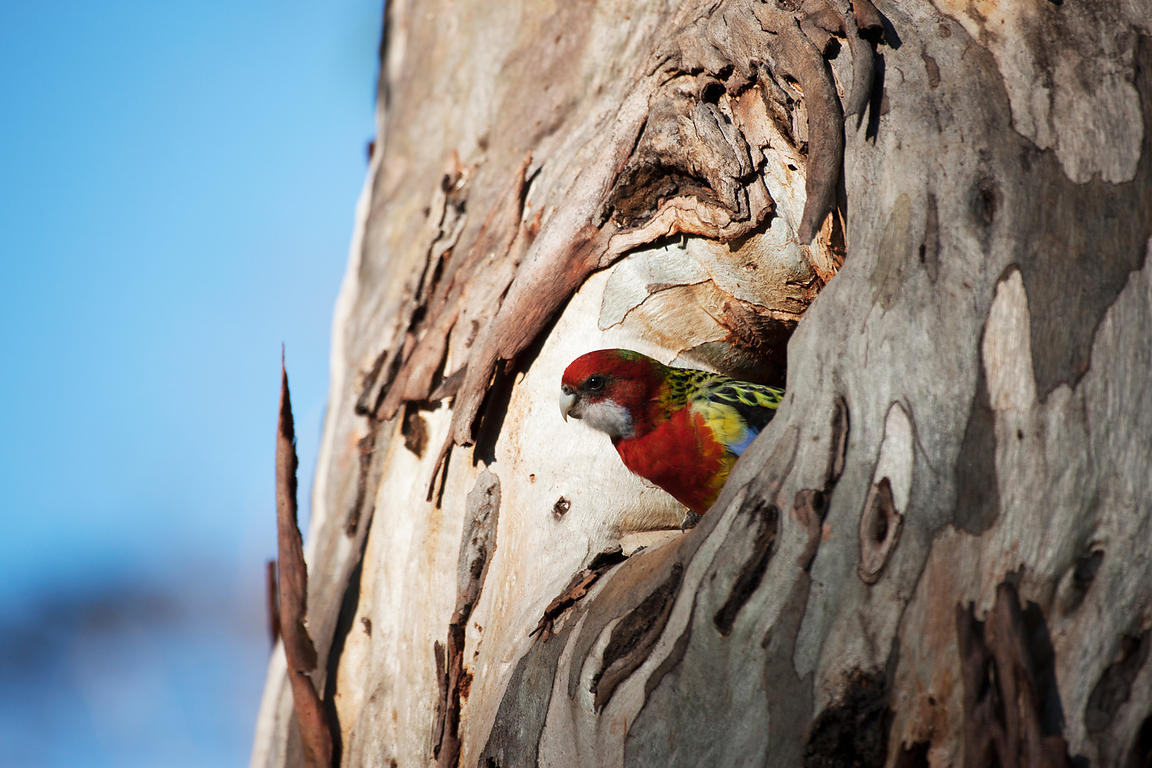 Eastern Rosella in nest