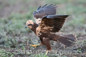 Western Marsh Harrier Circus aeruginosus female Spain winter