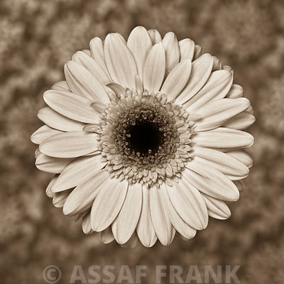 Close-up of Gerbera daisy on patterned background (Sepia)