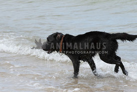 Black lab, red collar running in ocean,mouth slightly open.