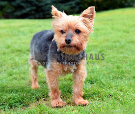 Diabetic, Blind, Deaf, Old Yorkie