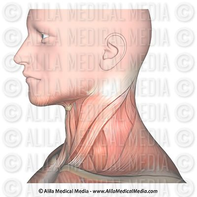 Neck muscles side view