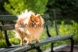 pomeranian on green bench in park