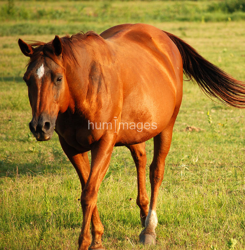 Chestnut mare with blaze walking in a field