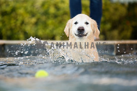 dog swimming in pool after tennis ball