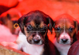 Fox hound puppies at the Belvoir Hunt Kennels at Belvoir Castle