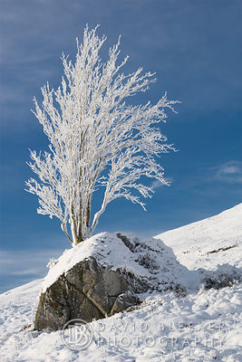 Glencoe winter Tree
