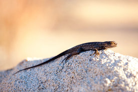 DESERT LIZZARD  JOSHUA TREE NATIONAL PARK CALIFORNIA