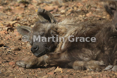 Brown Hyena (Hyaena brunnea), North West Province, Republic of South Africa