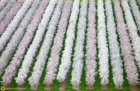 Blooming Almond Orchards from the Air #11