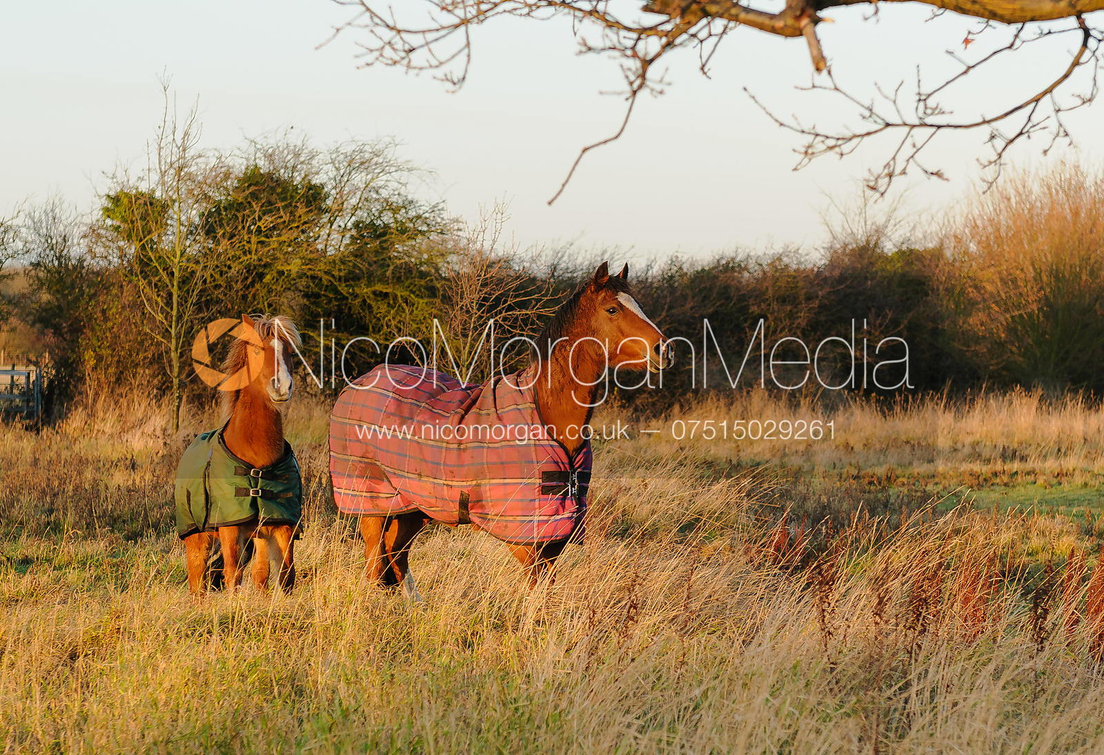 Ponies in a field in Northamptonshire
