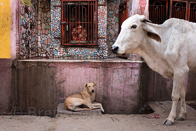 A street dog rests in a small shrine near a passing cow, Pushkar, Rajasthan, India