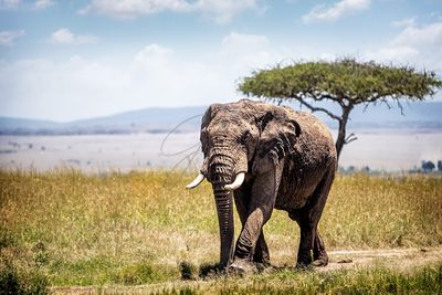 Large Bull Elephant Walking Forward in Kenya