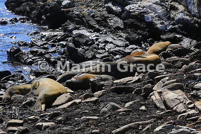 Southern Elephant Seals (Mirounga leonina) resting on the rocky shore, Carcass Island, Falkland Islands