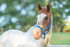 white horse with brown and white face wearing royal blue bridle looking at camera