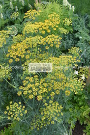Anethum graveolens 'Fernleaf' (aneth odorant, fenouil bâtard), Dwarf dill, Apiaceae (Ombellifères), Annuelle, Condimentaire, ...