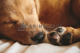 nose and paws of curled-up golden retriever puppy on bed
