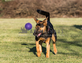 young German shepherd dog playing with purple ball
