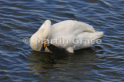 Preening Whooper Swan (Cygnus cygnus) scratching its bill with a claw, Dumfries & Galloway, Scotland