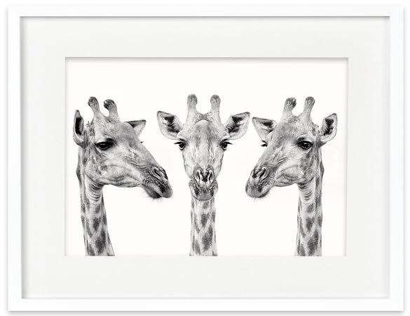 Giraffe Trio | Africa on White
