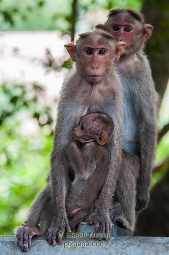 pixgaga com | Bonnet Macaque family, Chinnar Wildlife