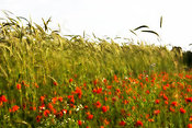 Field of spelt wheat and poppies for wild bird food