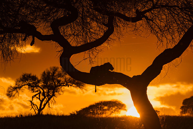 Lions in an Acacia Tree at Sunset