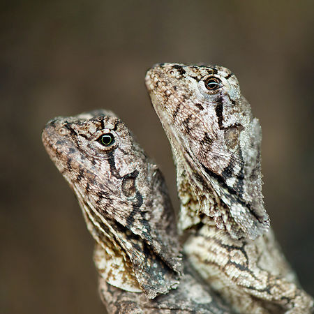 Portraits de Lézards à collerette  juvéniles