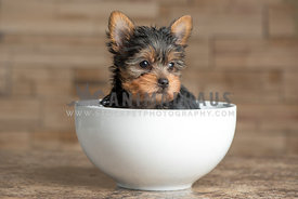 Yorkie Puppy in a bowl looking away from camera