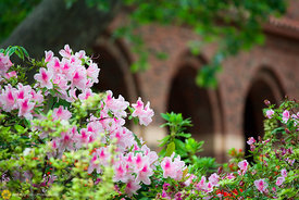 Azaleas at Chico State #8