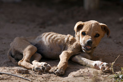 Puppy with facial injuries after being hit by a car, recuperating at the Tree of Life for Animals rescue center in Pushkar, I...
