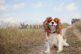 cavalier in field with tall grass