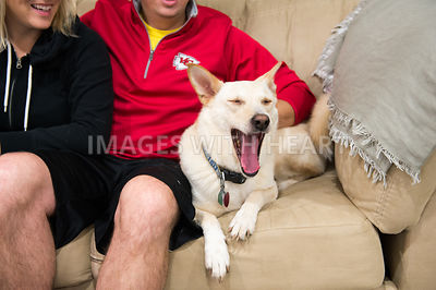 Dog yawning on couch