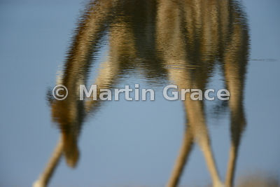 Plains Giraffe (Giraffa camelopardalis) - inverted reflection in Chudob waterhole, Etosha, Namibia
