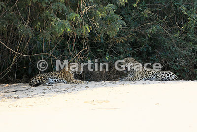 After mating, female Jaguar (Panthera onca) 'Hunter' and male Jaguar 'Hero' rest, facing each other, Three Brothers River, No...
