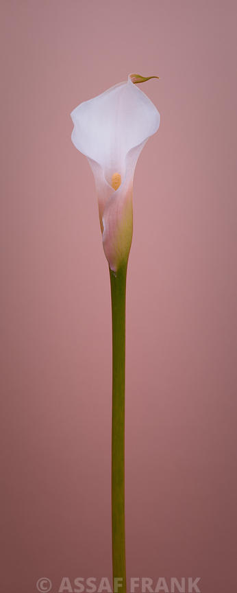 Single calla lily flower