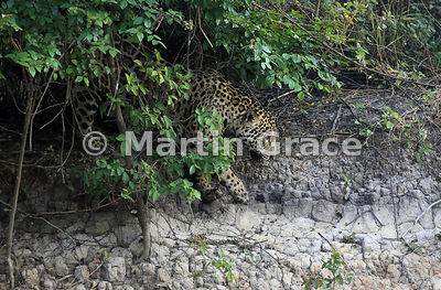 Male Jaguar (Panthera onca) known as Marley emerges from riverbank vegetation, River Cuiabá, Northern Pantanal, Mato Grosso, ...
