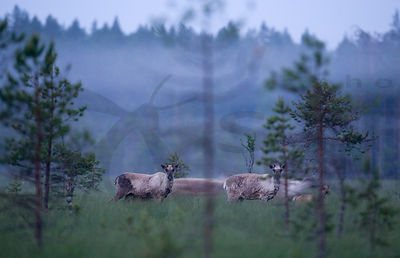 Wild Forest Reindeers in Summer Night