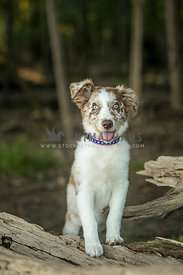 Aussie puppy standing on wood in a forest