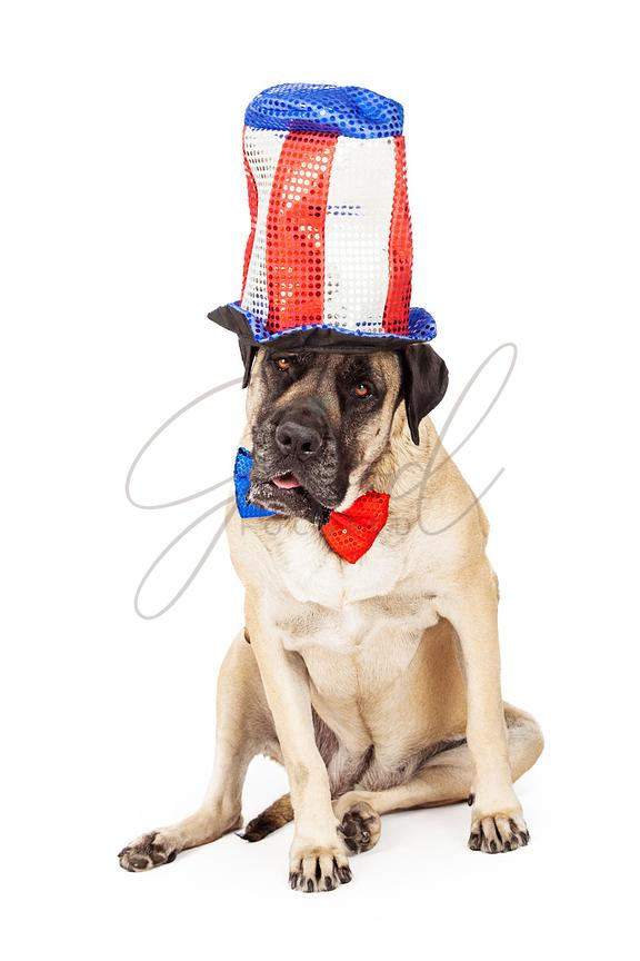 Mastiff Dog on Independence Day