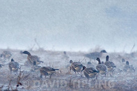 Pink-footed Geese Anser brachyrhynchus feeding in harvested sugar beet field in torrential rain and 50 mph winds, Salthouse North Norfolk November