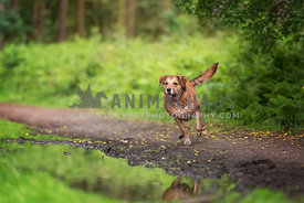 brown dog running along pathway in woods