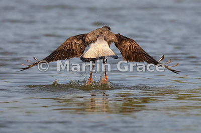 Southern Crested Caracara (Caracara plancus) lifting off from water, Northern Pantanal, Mato Grosso, Brazil