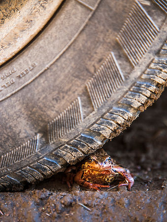 Common Frog under the car tyre