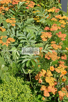 Association de vivaces : Achillea 'Terracotta' (achillée), Melianthus major (Mélianthe), Paysagiste : Adele Ford et Susan Wil...